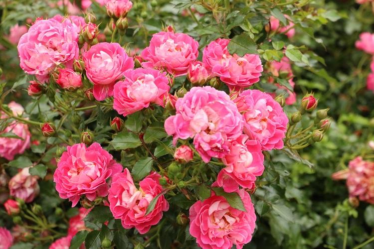 Ruusut 1